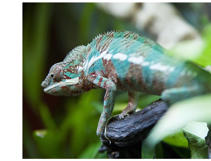 camaleonpantera