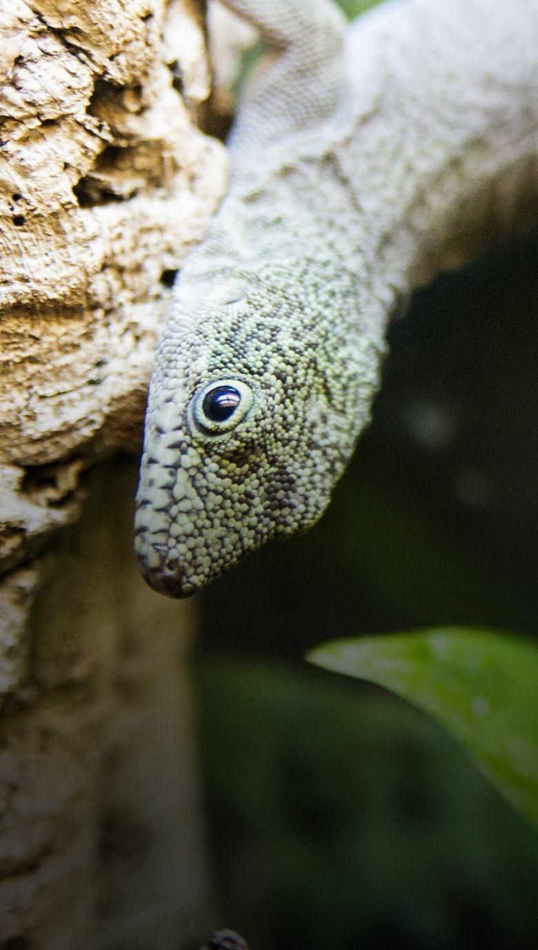 gecko diurno
