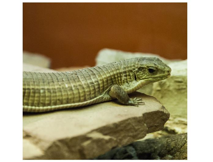 lagarto placas