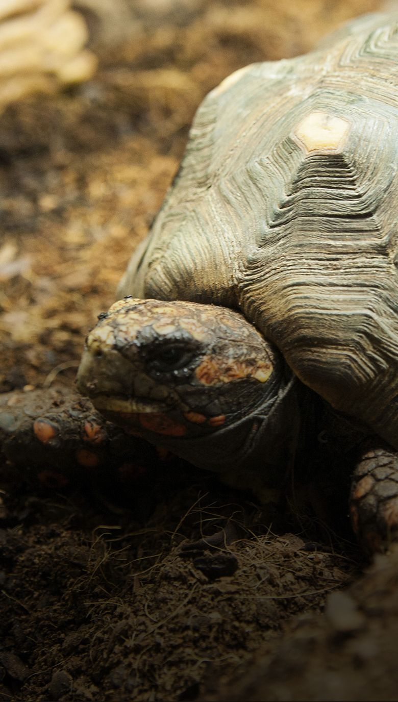 tortuga carbonera