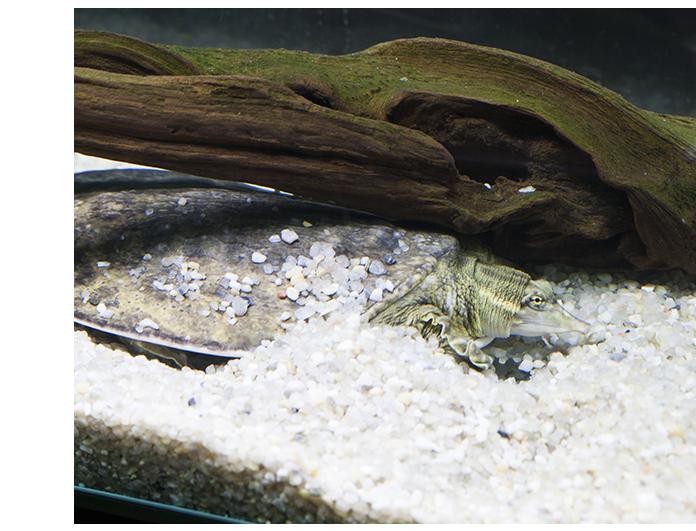 tortuga caparazon blando