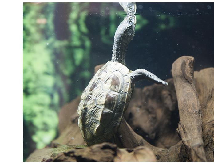 tortuga de cuello estriado