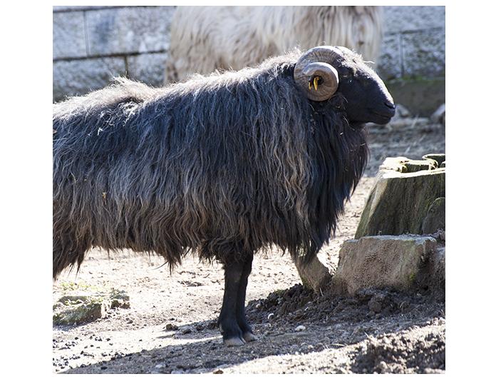 oveja gallega