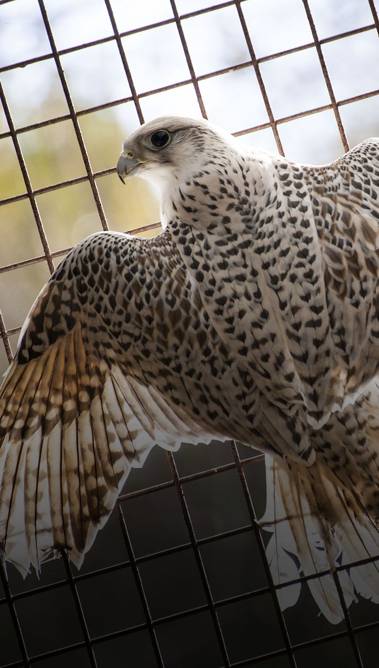 Aves rapaces-2