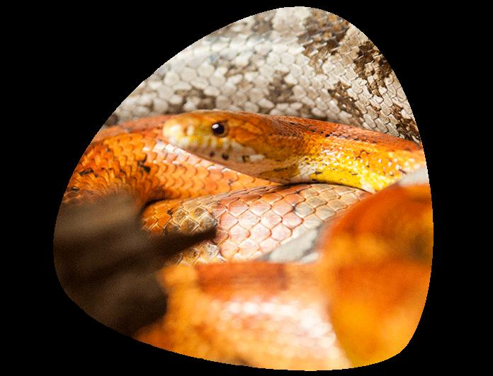 serpiente-del-maiz