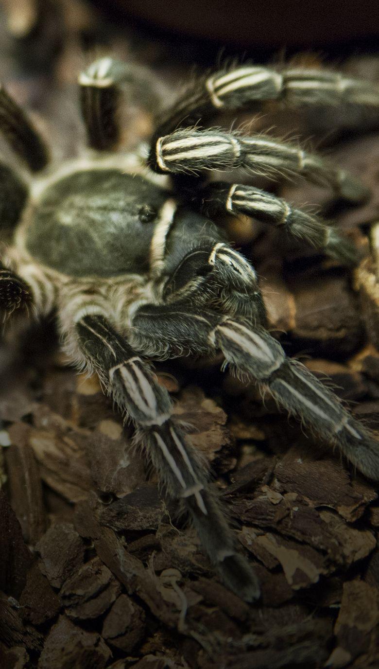 tarantula pelo ondulado honduras