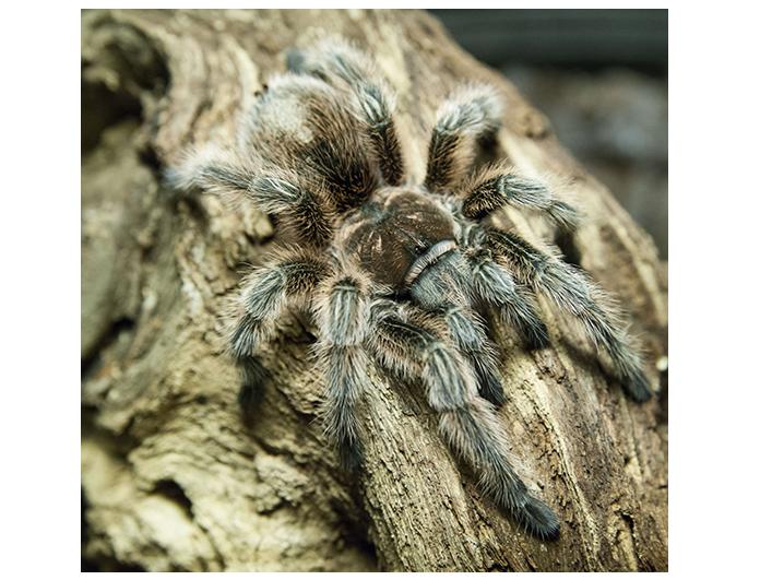 tarantulachilena