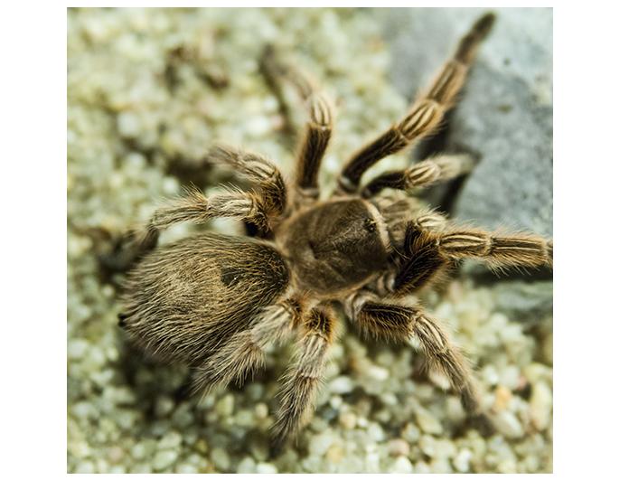 tarantulachilenarosada