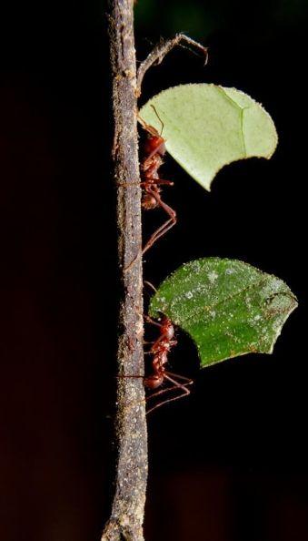 Hormigas menu vertical