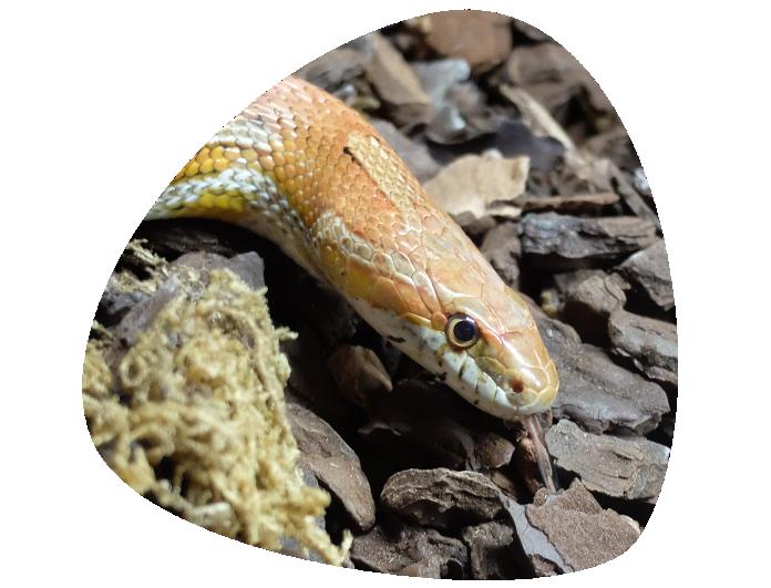 Serpiente-maiz-696x531marco trans