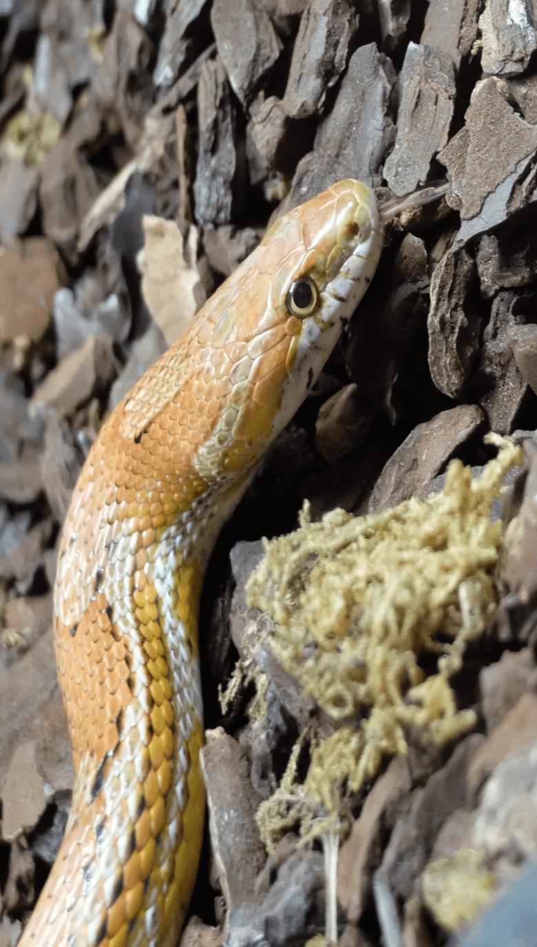Serpiente-maiz-780x1376