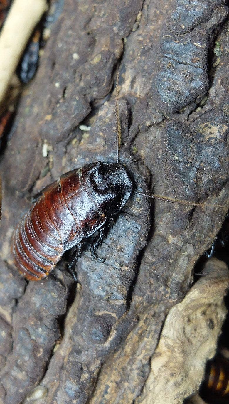 Cucaracha gigante 780x1376