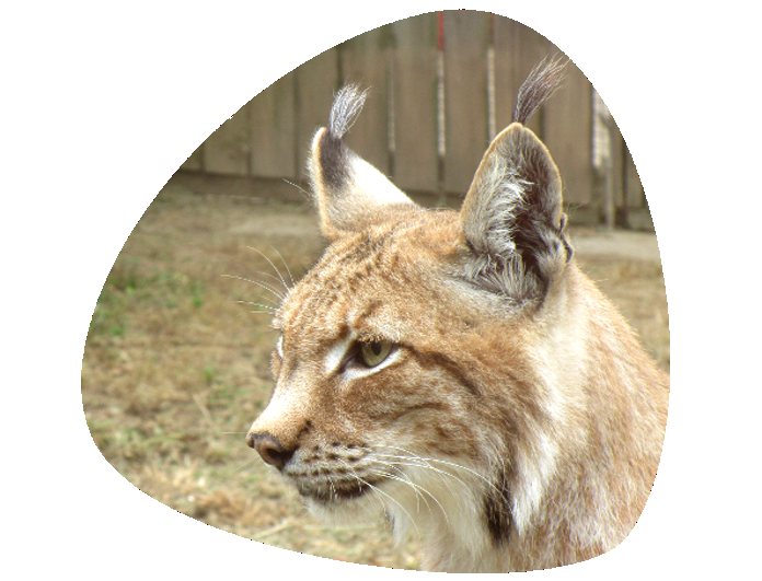 Lince 696x531