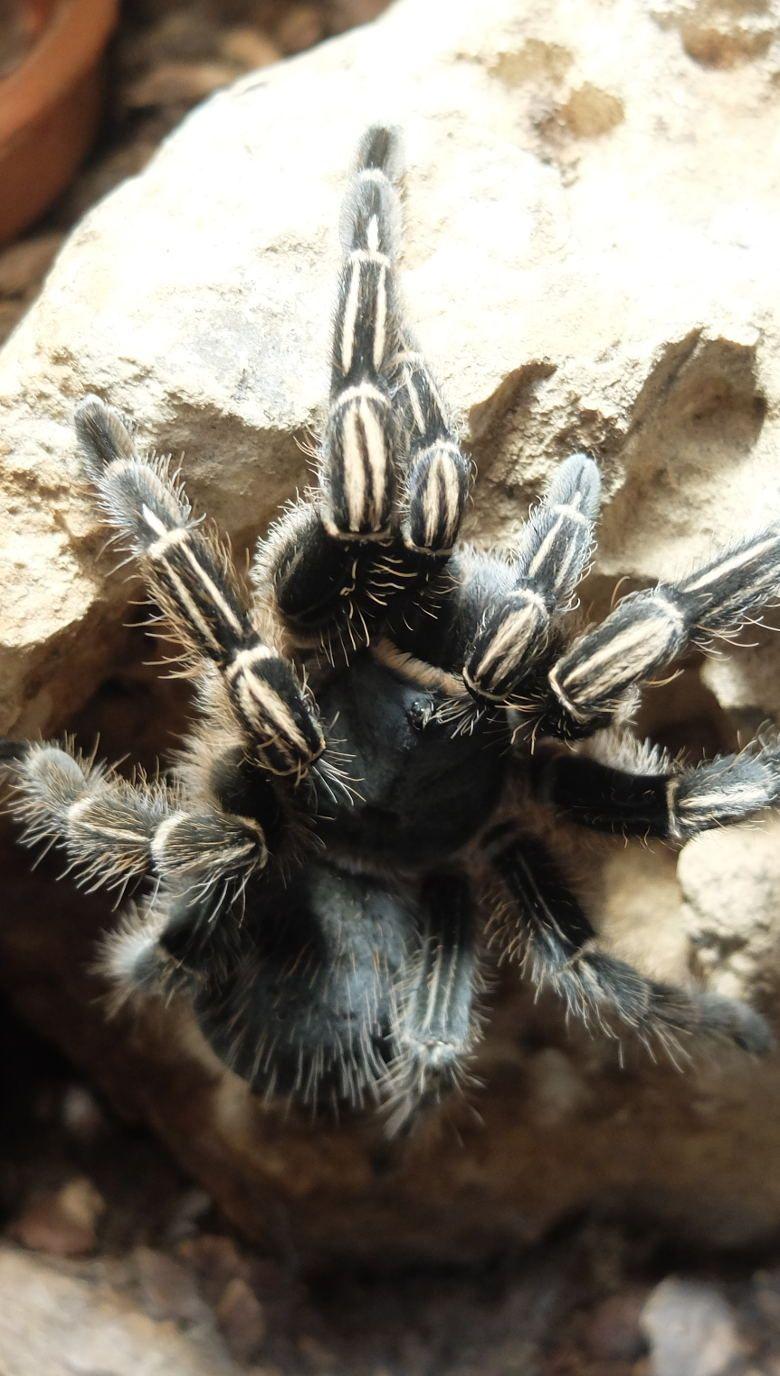 Tarántula cebra de Costarica 780x1376
