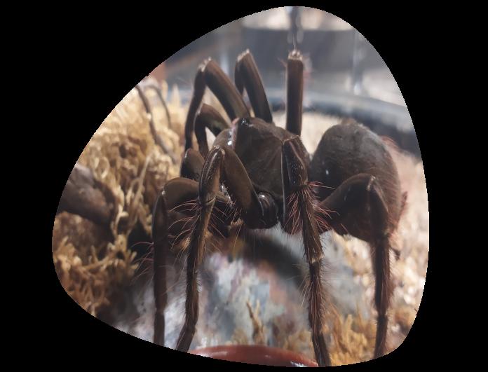 Tarantula goliat_Theraphosa blondi_696x531