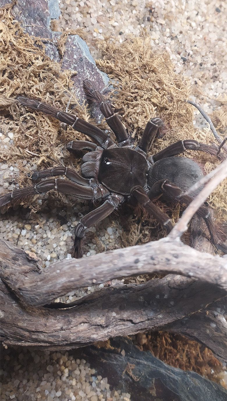 Tarantula goliat_Theraphosa blondi_780x1376