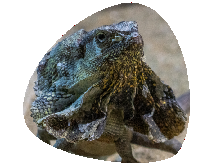 Clamidosaurio 696x531