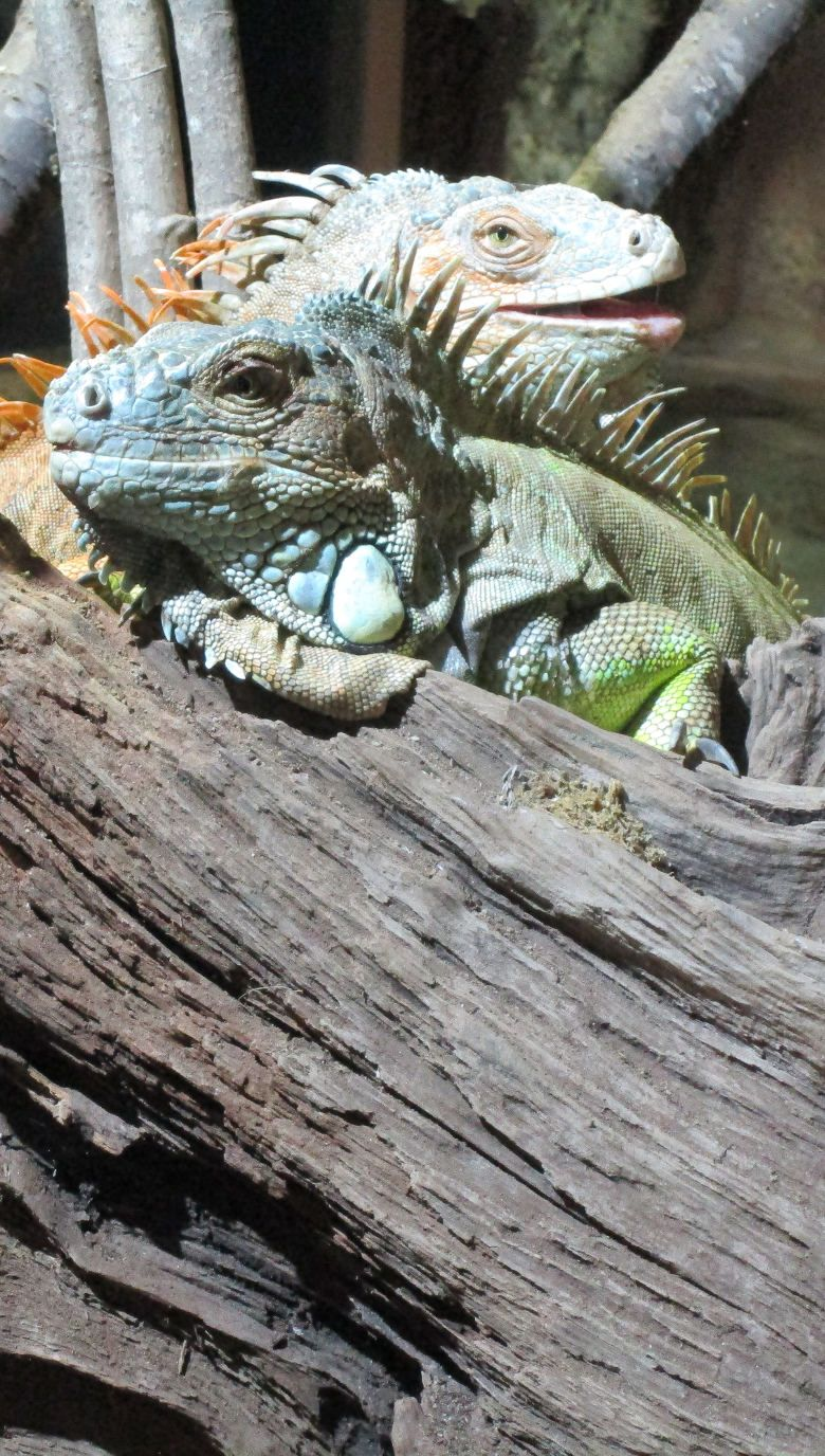 Iguana verde 780x1376 A