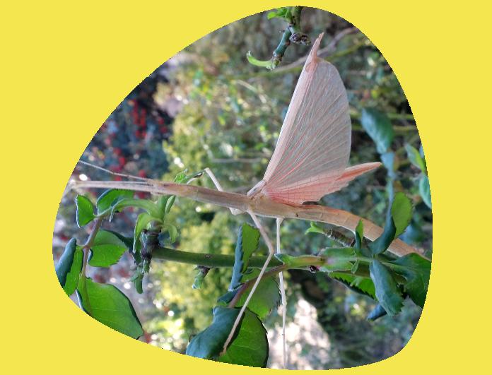 Insecto Palo Alado 696x531