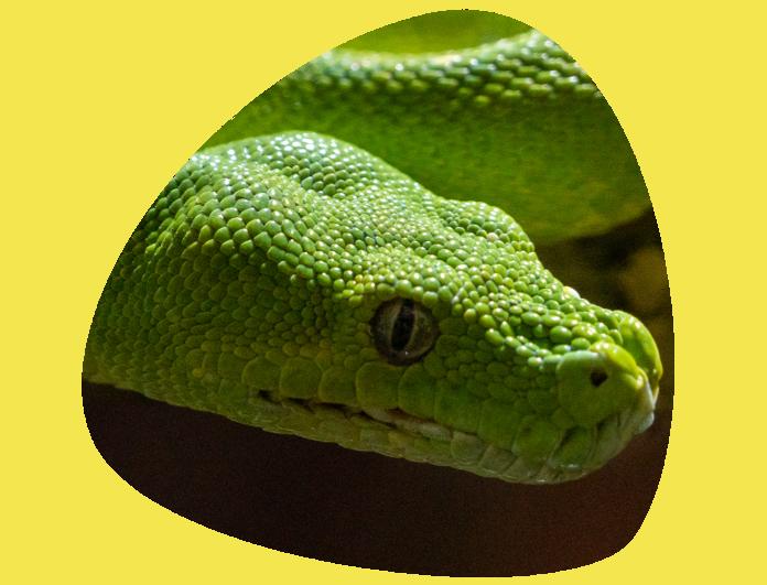 Pitón arborícola verde 696x531