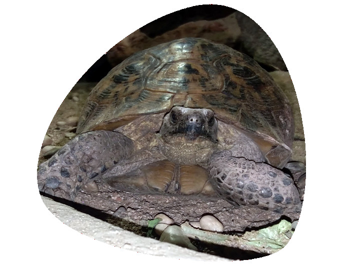 Tortuga mora 696x531