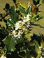 90px-Ilex_aquifolium_(flowers)