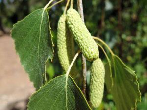 Abedul fruto