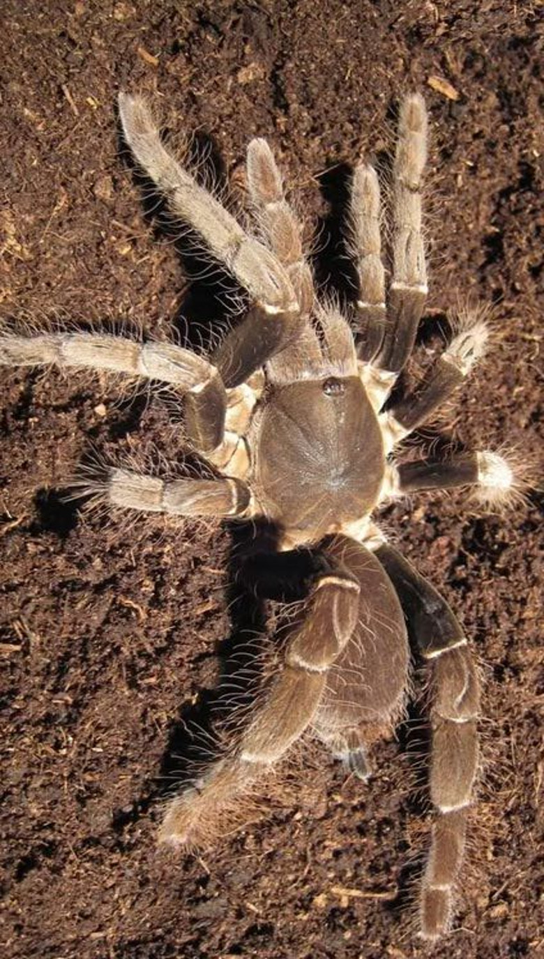 Tarantula Africana Gigante780X1376 WEB